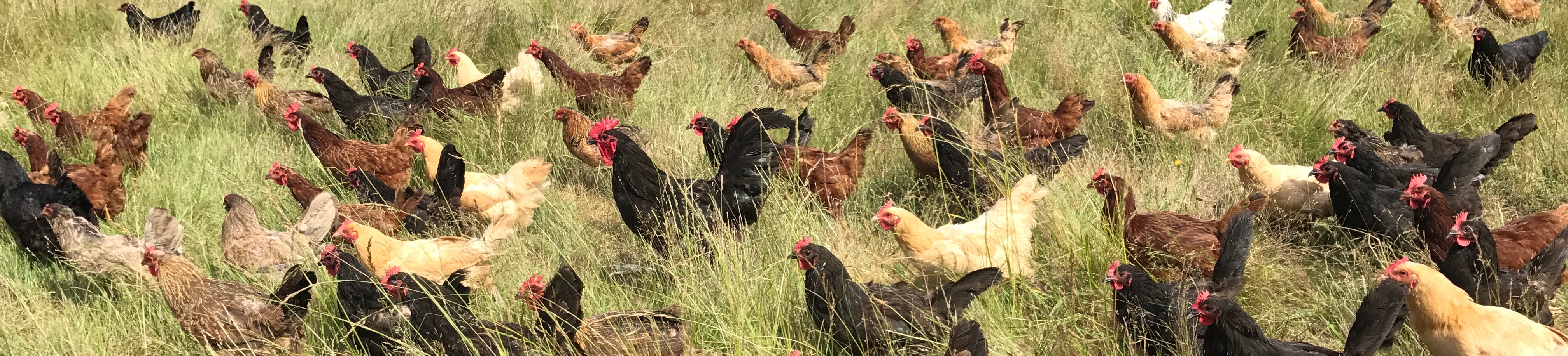 InFARMation September 25: Pasture-raised Poultry