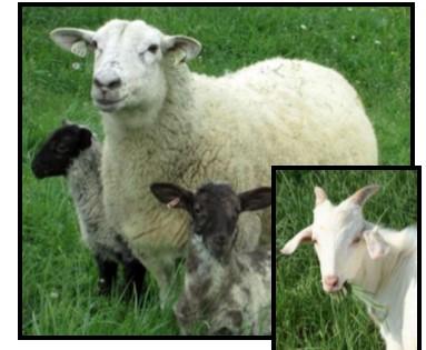 Goats/Sheep Parasite Management SIPM