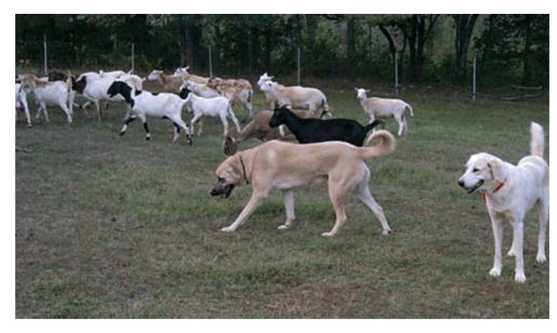 Livestock Guardian Dogs-using them effectively